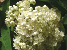Elderflower heads make a versatile, flavoured ingredient