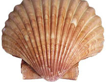 Scallops are a popular in cooking in the East and the West, and the shell is often seen to be a fertility symbol